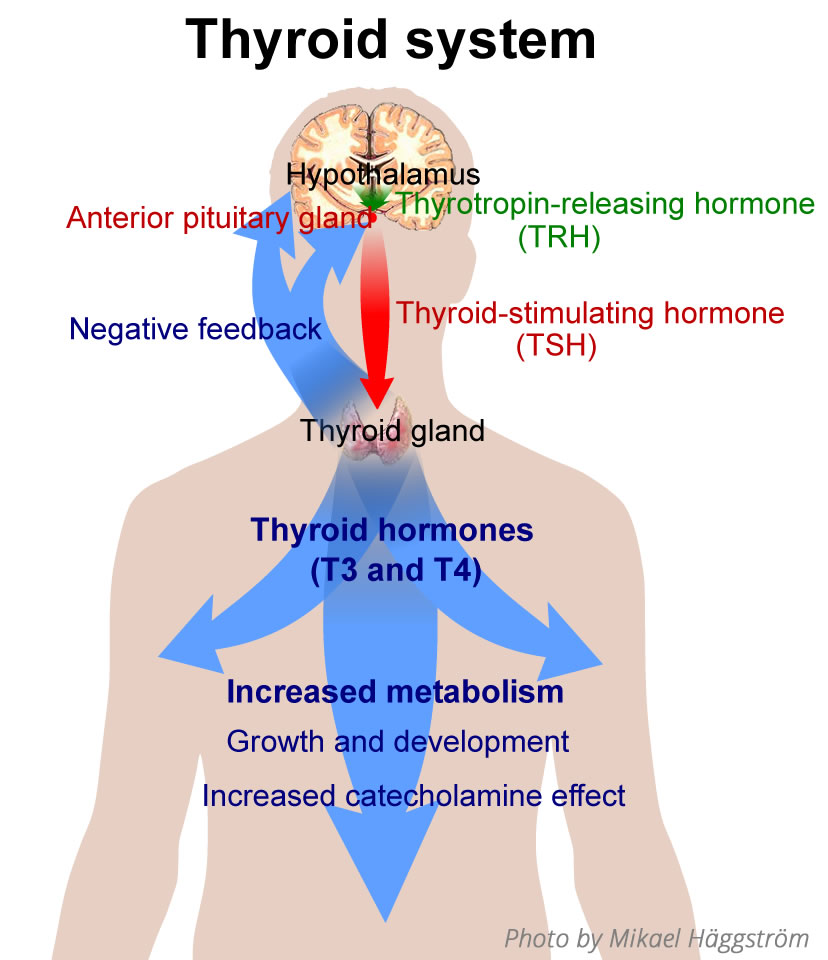 P01 - Glanda tiroida-hormoni-tiroidieni