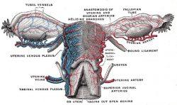 P02 - Ovarul