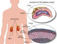 P04-Glandele Suprarenale- cabinet medical Endocrinologie Diabet Craiova